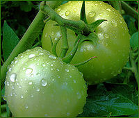 ORGANIC TOMATOES, SALAD TOMATOES FOR SALE